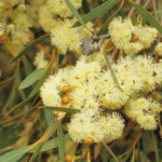 Eucalyprus pachyloma - Australian Native Plant