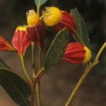 Eucalyprus stoatei - Australian Native Plant
