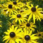 Rudbeckia fulgida var deamii - Perennial Plant