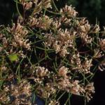 Hakea trifuricata - Australian Native Plant