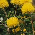 Melaleuca oldfieldii - Australian Native Plant