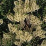 Melaleuca styphelloides - Australian Native Plant