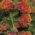Melaleuca trichophylla - Australian Native Plant