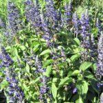 Salvia Mystic Spires - Perennial Plant