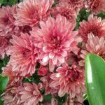 Chrysanthemum Rose Pink - Perennial Plant