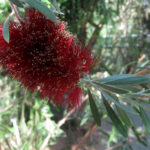 Callistemon pachyphyllus red - Australian Native Plant