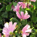 Scaevola aemula pink - Australian Native Plant