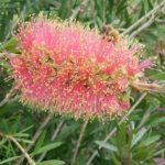 Callistemon phoenecius Pink Ice - Australian Native Plant