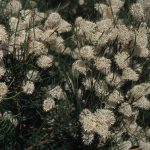Hakea drupacea - Australian Native Plant
