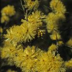 Melaleuca nodosa - Australian Native Plant