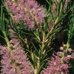 Melaleuca subfalcata - Australian Native Plant