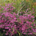 Melaleuca subtrigona - Australian Native Plant