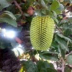 Banksia lemanniana - Australian Native Plant