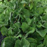 Salvia broussonetii - Perennial Plant