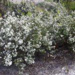 Taxandria juniperina - Australian Native Plant