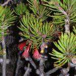 Calothamnus robustus - Australian Native Plant