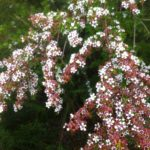 Taxandria spathulata - Australian Native Plant