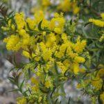 Acacia triptera - Australian Native Plant