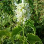 Agastache rugosa white form - Perennial Plant