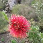 Kunzea baxteri - Australian Native Plant