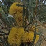 Banksia elderiana - Australian Native Plant
