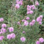 Kunzea ambigua pink - Australian Native Plant