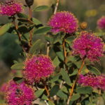 Melaleuca conothamnoides - Australian Native Plant