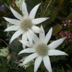 Actinothus helianthi - Australian Native Plant