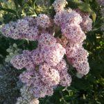 Buddleia salviifolia - Perennial Plant