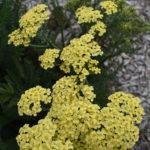Achillea lemon - Perennial Plant