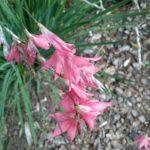 Dierama pulcherrimum - Perennial Plant