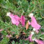 Eremophila maculata dwarf pink - Australian Native Plant