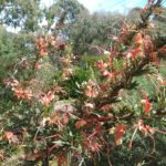 Grevillea tripartita - Australian Native Plant