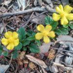 Hibbertia grossulariifolia - Australian Native Plant