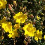 Hibbertia microphylla - Australian Native Plant