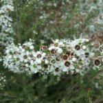 Kunzea leptospermoides - Australian Native Plant