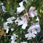 Westringia glabra x linifolia - Australian Native Plant