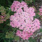 Achillea Apple Blossom - Perennial Plant