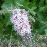Buddleia Maryborough Beauty - Perennial Plant