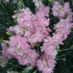 Dianthus Pikes Pink - Perennial Plant