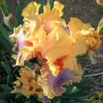 Iris Chinook Arch