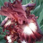 Iris Spice Lord