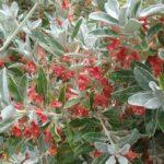 Teucrium heterophyllum - Perennial Plant