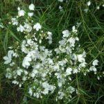 Veronica decorosa - Australian Native Plant