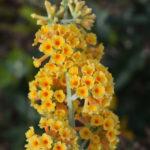 Buddleia x weryiana Golden Glow - Perennial Plant
