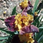 Iris Gambler
