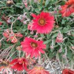 Arctotis Red Magic - Perennial Plant