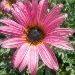 Artotis dark pink - Perennial Plant