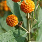 Buddleia globosa - Perennial Plant