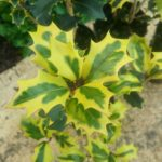 Osmanthus heterophyllus 'Aureomarginatus' - Perennial Screening Plant